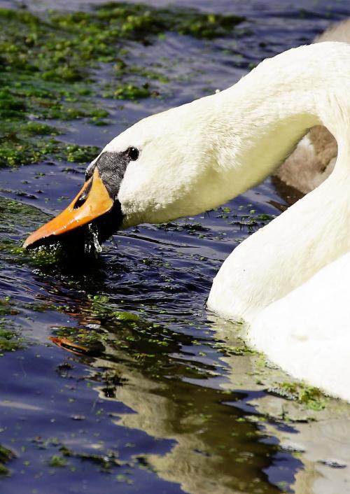 Obiad #łabędź #natura #ptak