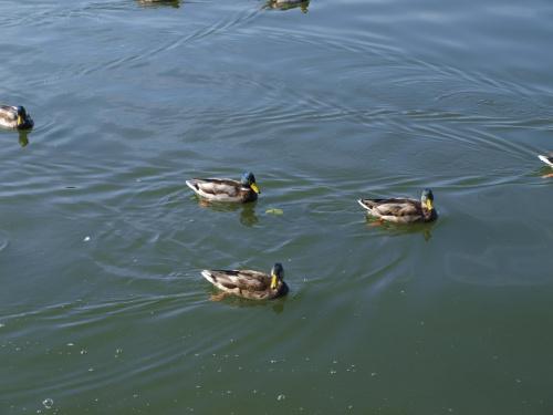 Dzikie kaczki.